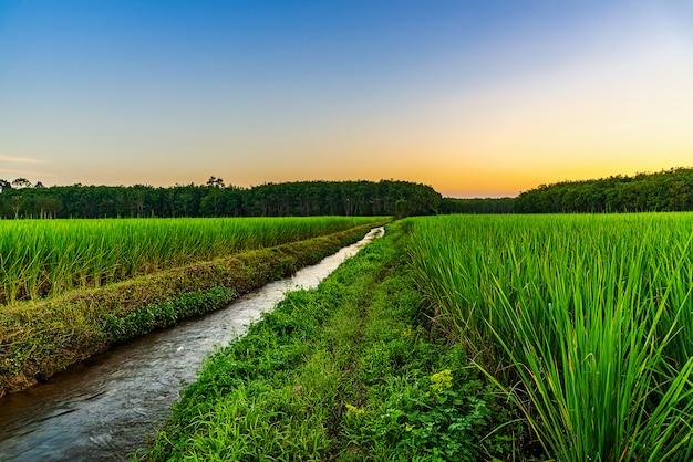 Reisfeld mit farbe des himmels in der dämmerung
