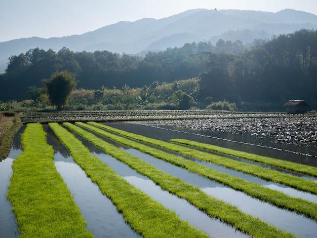 Reisfeld mit gebirgshintergrund