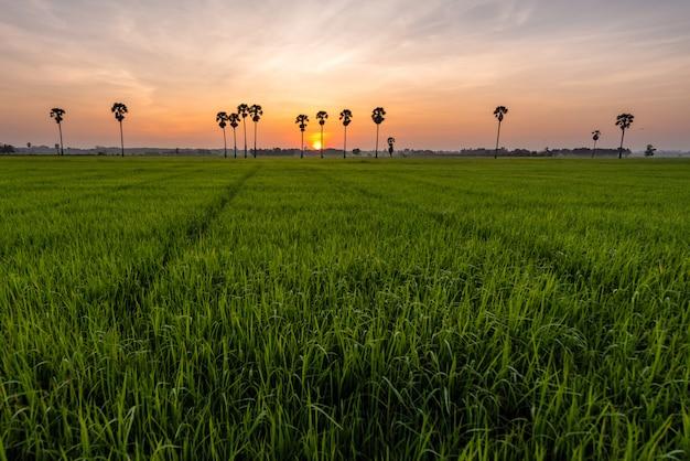 Reisfeld mit palmen und sonnenaufgang an der phatthalung provinz, thailand