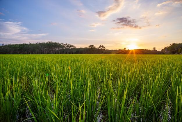 Reisfeld mit sonnenaufgang oder sonnenuntergang und sonnenstrahlaufflackern