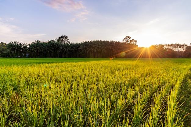 Reisfeld mit sonnenaufgang oder sonnenuntergang und sonnenstrahlfackel