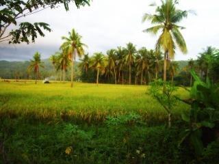 Reisfeld, palmen