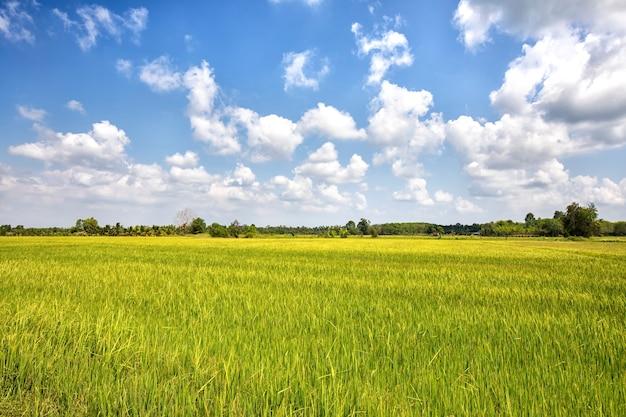 Reisfeld und blauer himmel