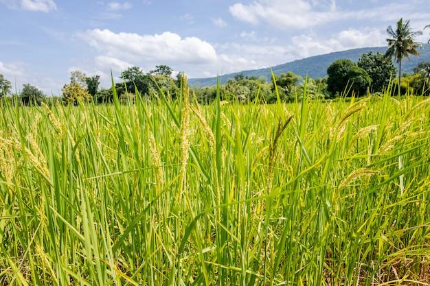Reisfeld und gebirgshintergrund.