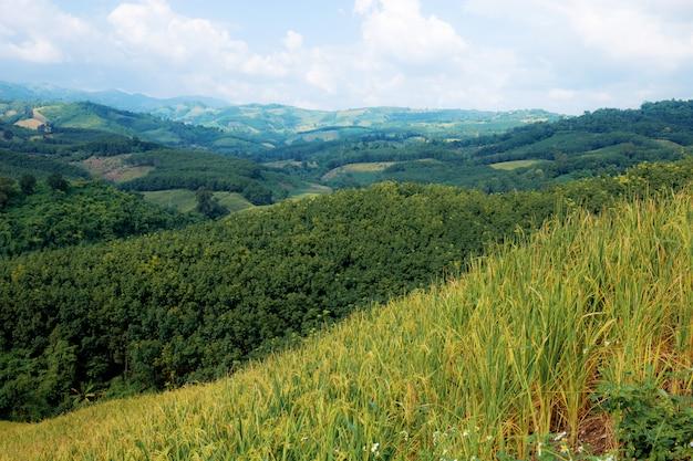 Reisfelder auf hügel.