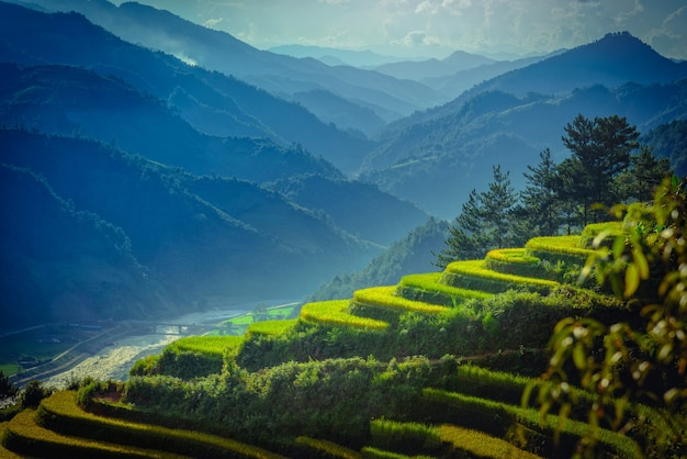 Reisfelder auf terassenförmig angelegtem mit kiefer in mu cang chai, yenbai, vietnam