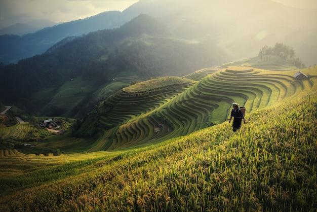 Reisfelder bereiten die ernte in nordwestvietnam vor