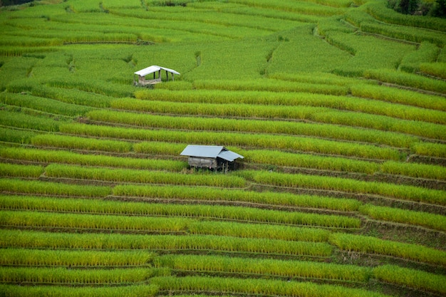 Reisfelder des kleinen hauses und des reises in chiangmai, thailand