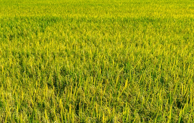Reisfelder hintergrund