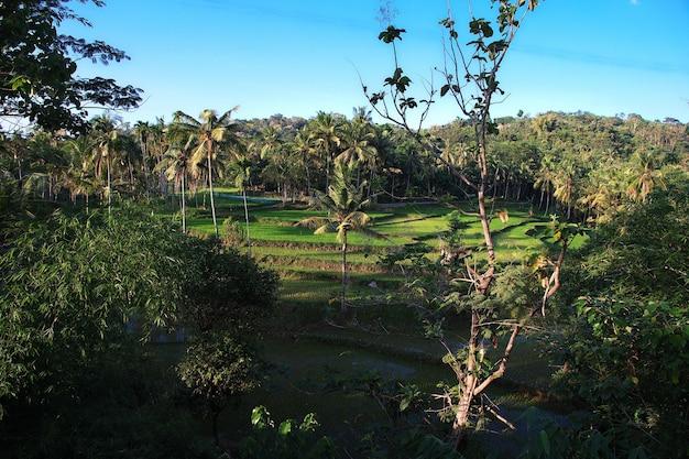 Reisfelder im dorf indonesienreisfelder im dorf indonesien