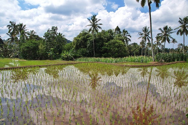 Reisfelder im dorf von indonesien