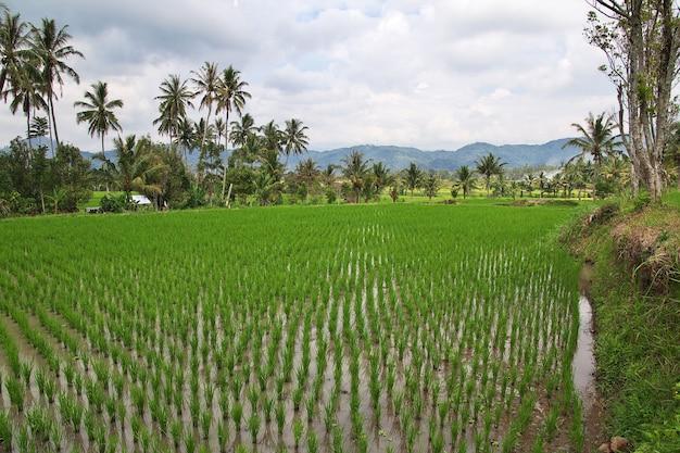 Reisfelder im kleinen dorf indonesien