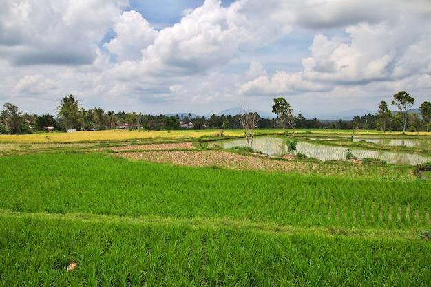 Reisfelder im kleinen dorf von indonesien