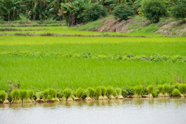 Reisfelder im ländlichen thailand,