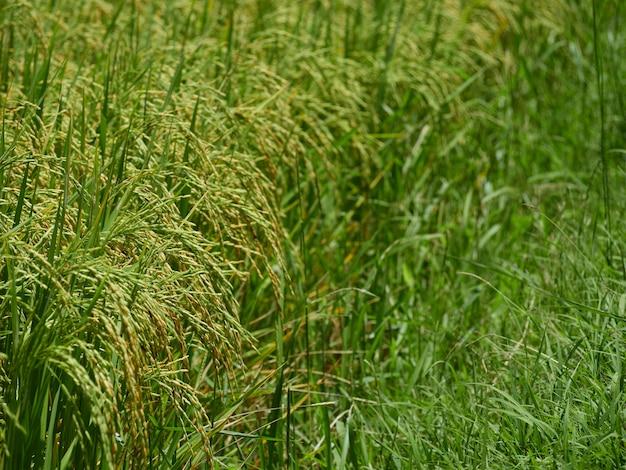 Reisfelder in der nähe der ernte