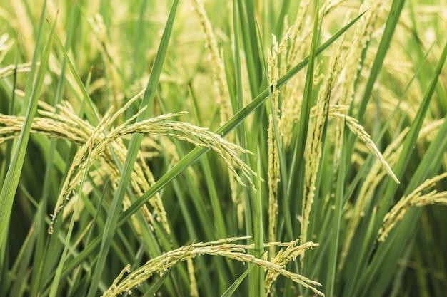 Reisfelder in der natur