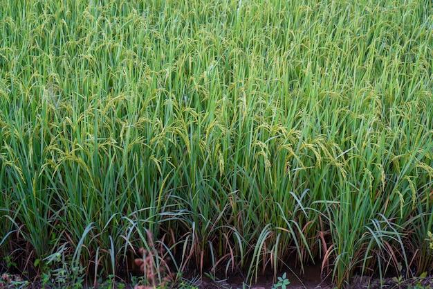 Reisfelder mit guten landwirtschaftlichen produkten in thailand