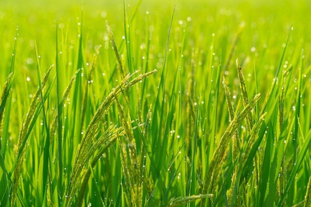 Reisfelder morgens mit bokeh vom wassertropfen.