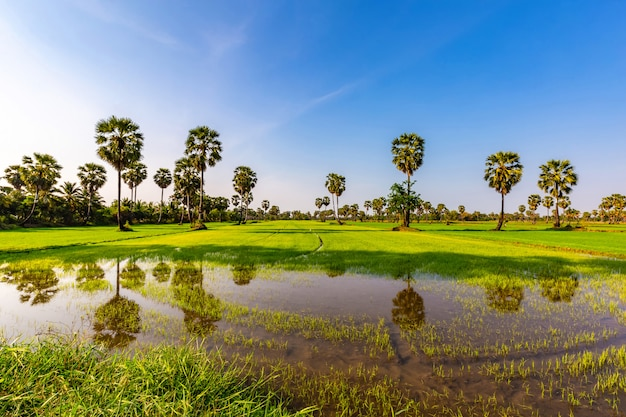 Reisfelder und arengapalmen am sonnigen tag