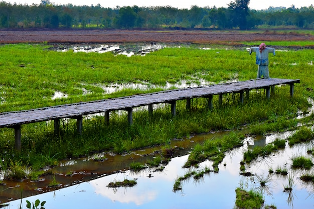 Reisfelder und holzbrücke mit der vogelscheuche