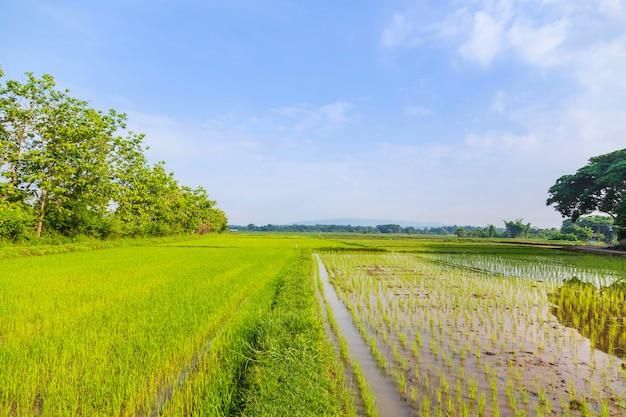 Reisfelder und neu gepflanzte sämlinge