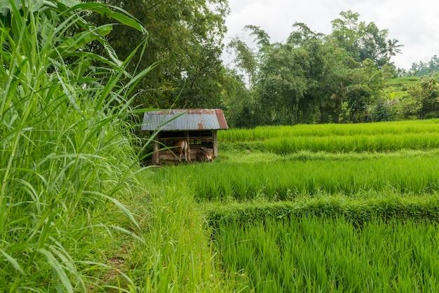 Reisfelder von bali am bewölkten bewölkten tag mit etwas regen