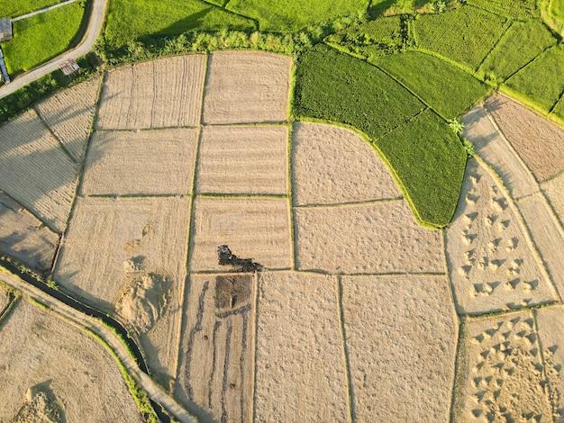 Reisfelder werden geerntet