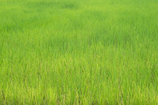 Reisfeldlandwirtschaftslandschafts-landschaftshintergrund des grünen grases der natur