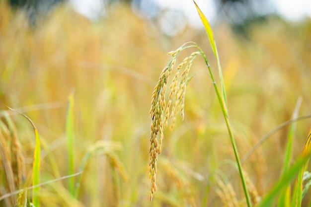 Reiskörner auf reisfeldern