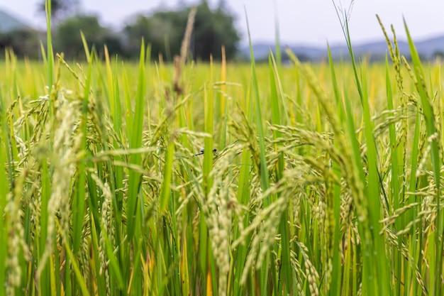 Reisohr oder reisfeld