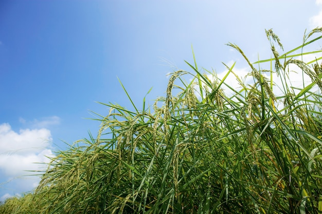 Reisohren mit blauem himmel.