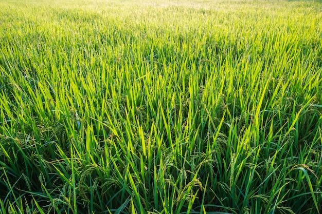Reispflanzen in reisfeldern