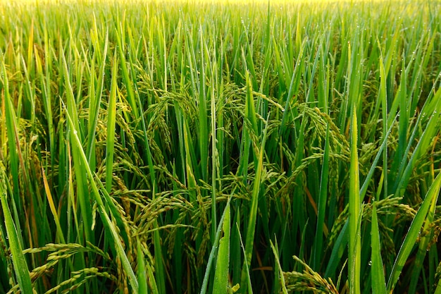 Reispflanzengrün