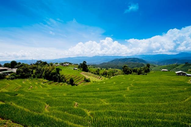 Reispflanzung auf dem berg, reisterrassen bei ban pa pong piengin thailand
