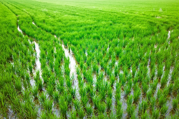 Reisplantagen in einem feld