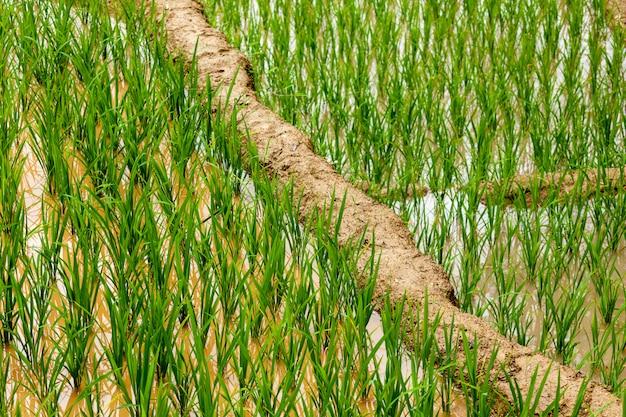 Reisplantagen. vietnam