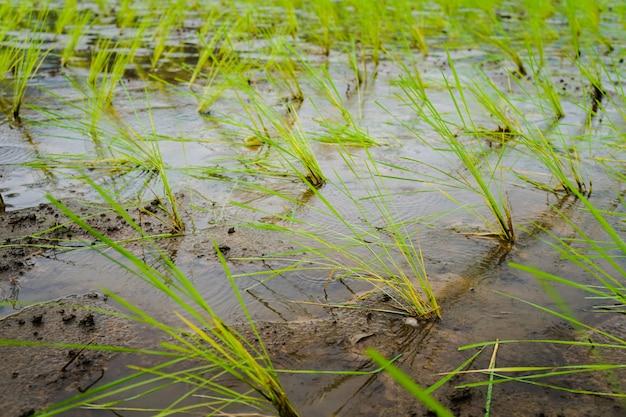 Reissämlinge auf dem nassen gebiet.