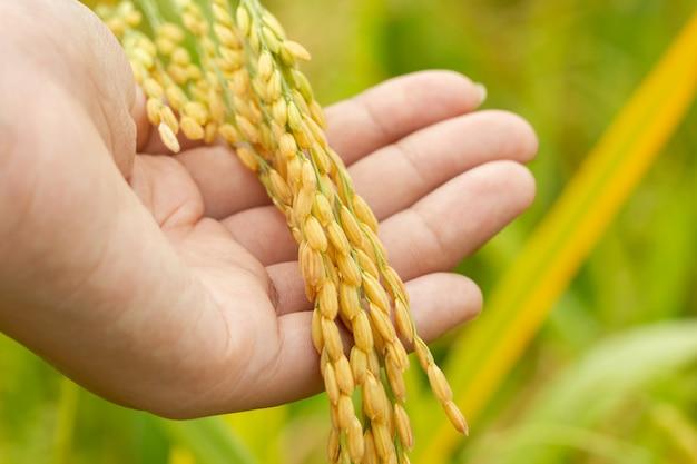 Reissamen in der hand am paddybauernhof morgens. konzept der landwirtschaft oder bio-farmen.