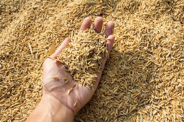 Reissamen in der hand auf paddy-hintergrund