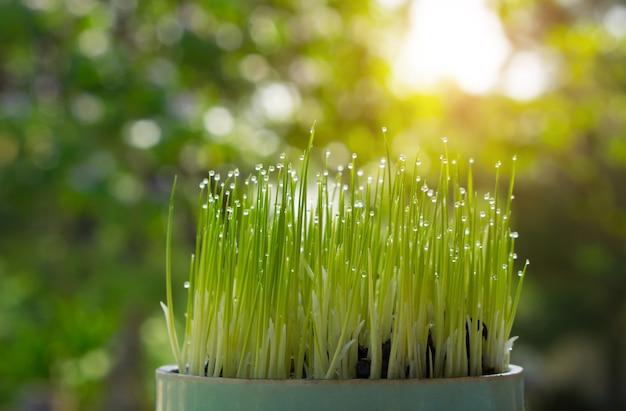 Reissprössling, der vom samen wächst wächst