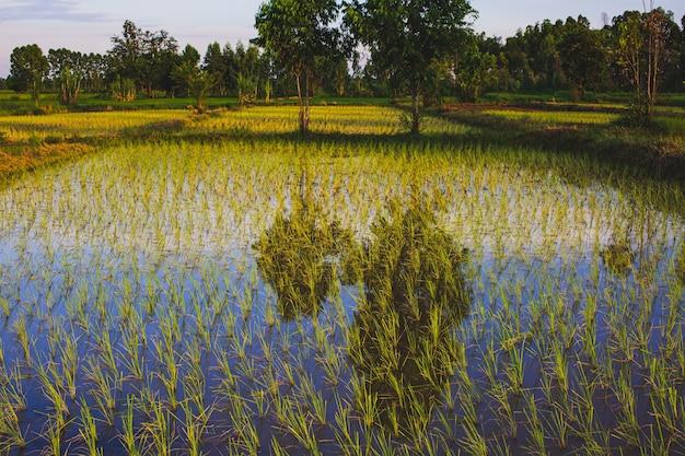 Reissprossenschlamm in reissämlingen mit naturhintergrundlandwirtschaftswasser
