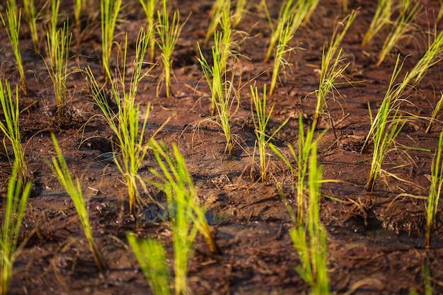 Reissprossenstich in reisschlammsämlingen mit naturhintergrund