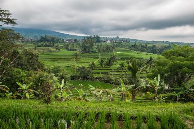 Reisterrassen in tegallalang, ubud, bali, indonesien.