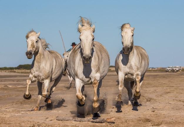 Reiter auf dem pferd weiden camargue-pferde