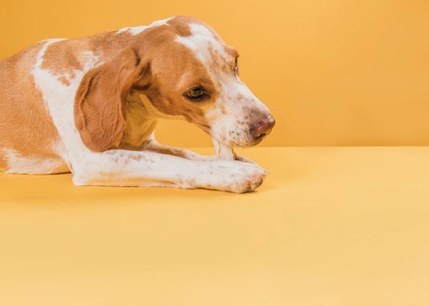 Reizender hund, der einen knochen sitzt und isst