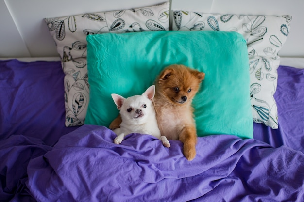 Reizender pommerscher hund, der zusammen im bett auf kissen unter decke mit lustigem chihuahuawelpen liegt.