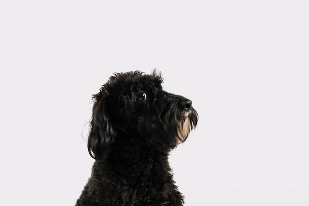 Reizender schwarzer hund, der mit weißem hintergrund aufwirft