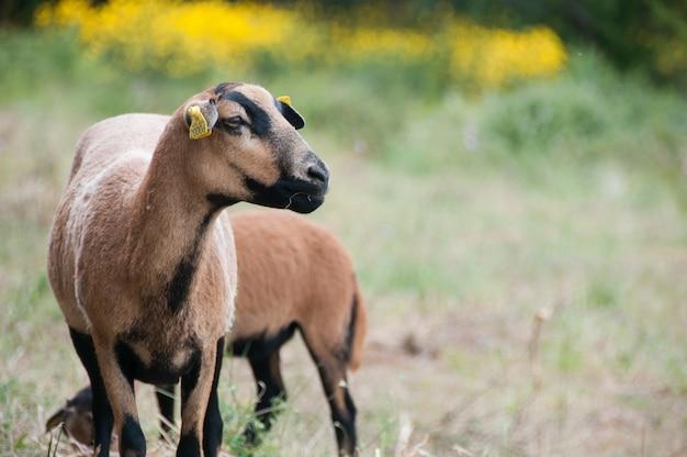 Rennen kamerun-schafe ovis schafft seltene kamerun