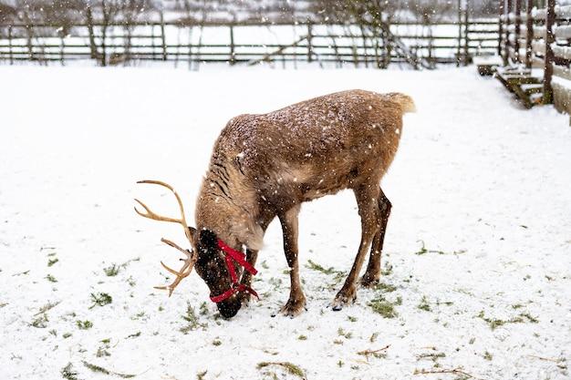 Rentier, das im winter auf einem bauernhof im wald auf der ranch geht.