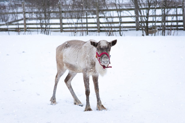 Rentier im corral an einem schneereichen wintertag, nordtier